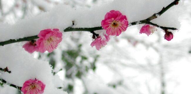 جوانه زنی درختان در وسط زمستان و راهکارهایی برای کاهش آسیبهای آن