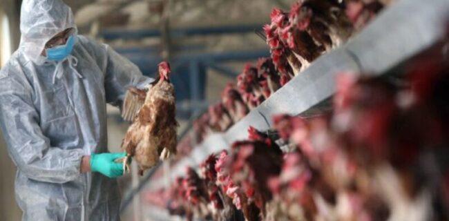 مشاهده بیماری آنفلوآنزای فوق حاد پرندگان در تبریز