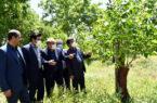 تعویض تاج و سرشاخه کاری ۵۶۰ هکتار باغ گردو در آذربایجان شرقی